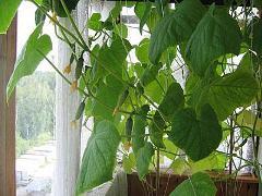 Как выращивать огурцы на подоконнике